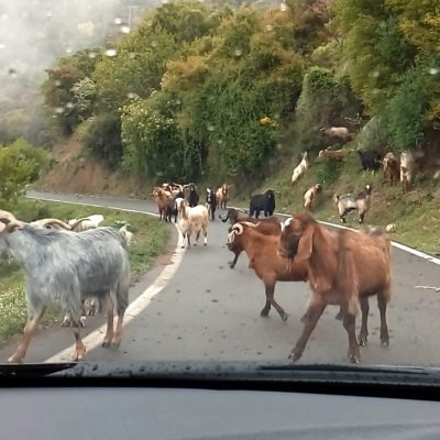 Goats in the middle of the road - Private tours Athens Greece