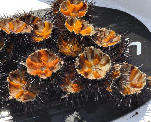 seaurchins