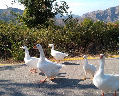 animal goose