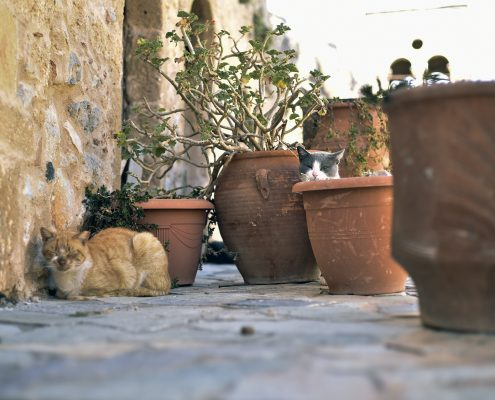 monemvasia animal cat